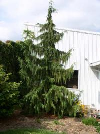 Turnbull garden center north collins new york for Small decorative evergreen trees